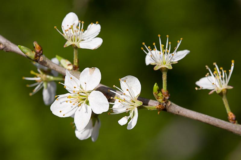 endrino - detalle flor
