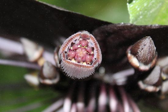 tacca chantrieri - detalle semillas