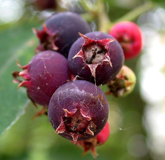 Amelanchier lamarckii - detalle frutos