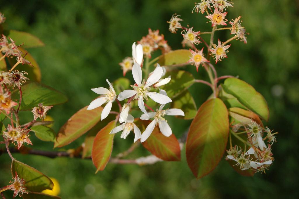 amelanchier lamarckii - detalle flores