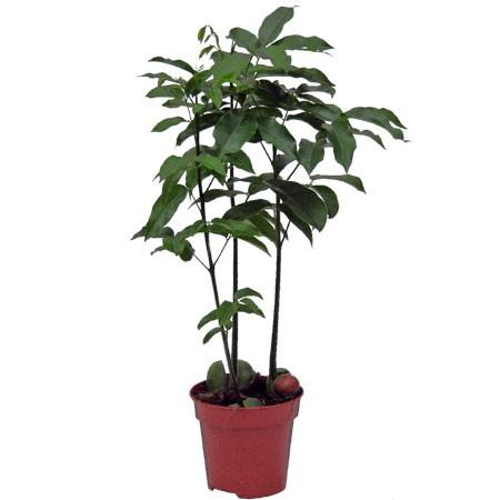 castanospermum planta a la venta