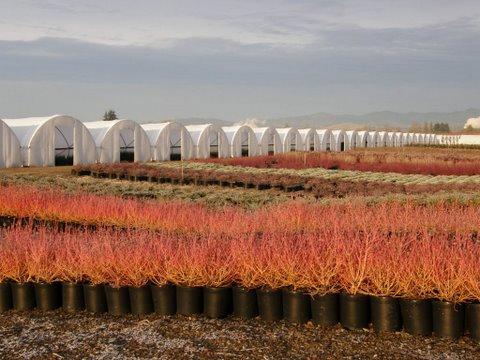 cornus - campo de cultivo