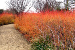 Crnus 'Midwinter Fire', Cambridge