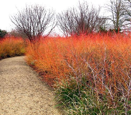 El Cornejo Rojo – Color invernal