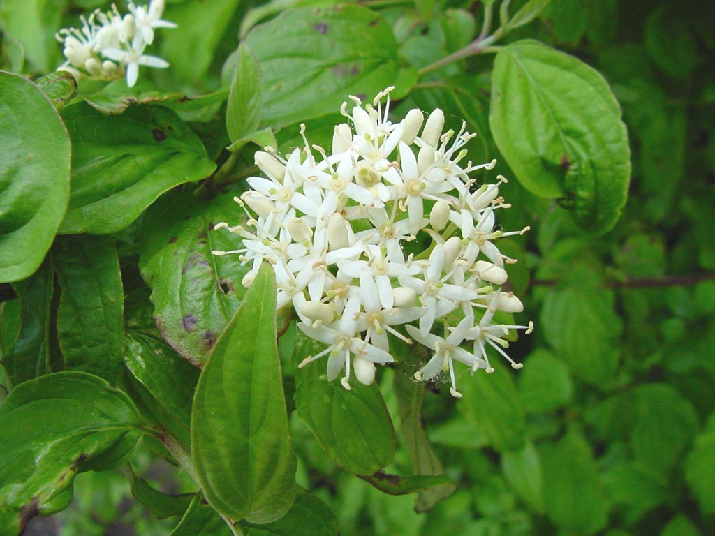 cornus  - flor