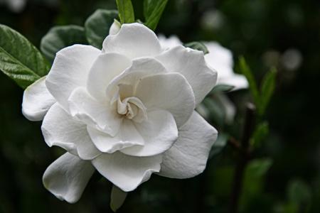 gardenia detalle flor