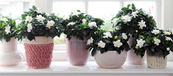 gardenia exposición