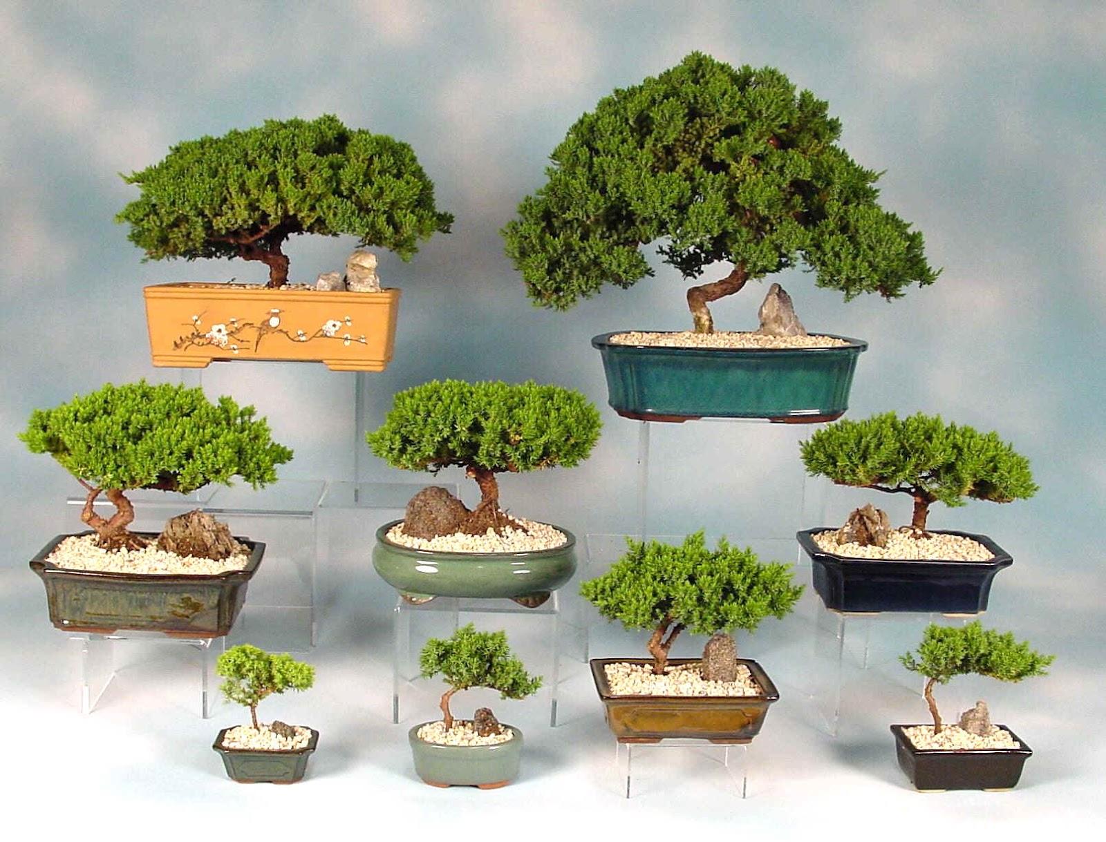 Planta del mes de marzo bonsais con un 10 de descuento for Estanterias para bonsais