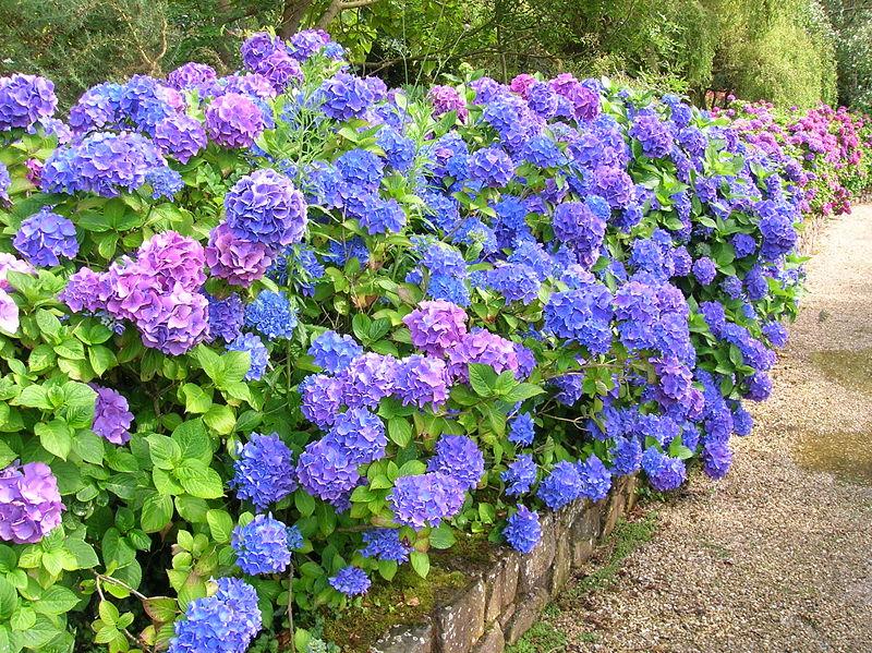 Planta del mes de Julio: Hortensia con un 25% de descuento.