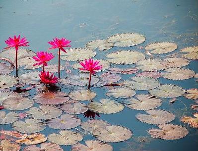 planta acuatica - detalle flores