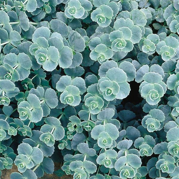 sedum sieboldii  - detalle hojas 2