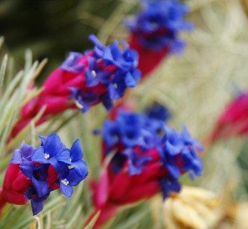 tillandsia - detalle flores