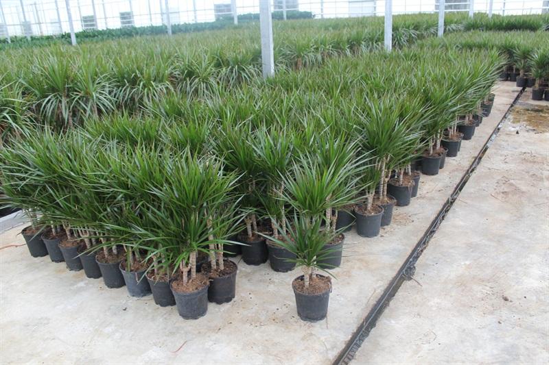 Planta del mes de Agosto: Dracaena marginata con un 25% de descuento.