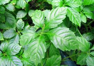 Gynostemma pentaphyllum- detalle hojas