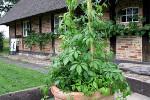 Gynostemma pentaphyllum- porte planta
