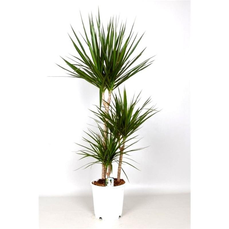 Planta del mes de agosto dracaena marginata con un 25 de for Dracaena marginata