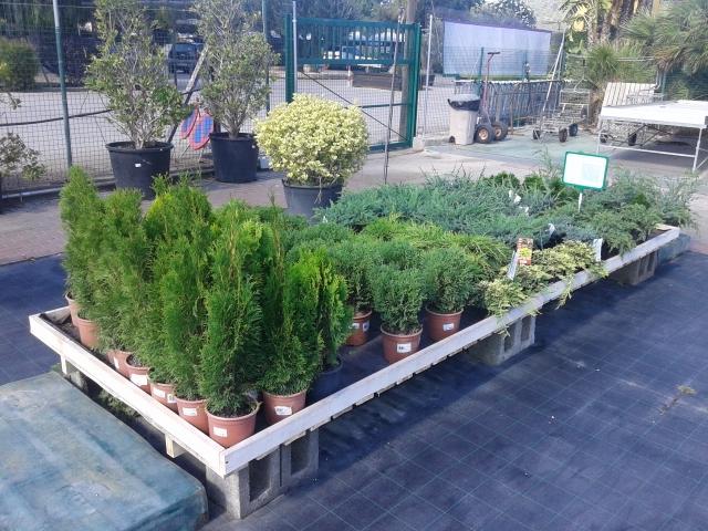 juniperus a la venta
