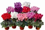CYCLAMEN-MINI-HOLANDA