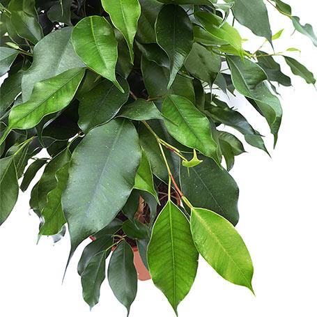 Gran Oferta: ¡Ficus benjamina danielle de 150 cm. a 25 euros!