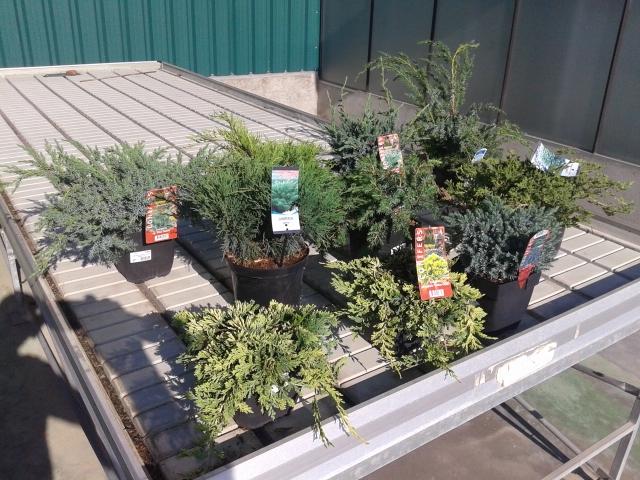 juniperus stock