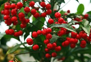 Ardisia crenata - arbusto