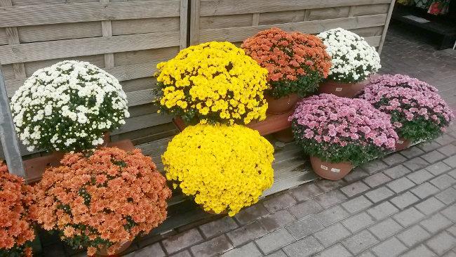 venta-crisantemos-dia-todos-los-santos-barcelona
