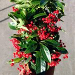 Ardisia crenata – La alternativa a la Poinsettia.
