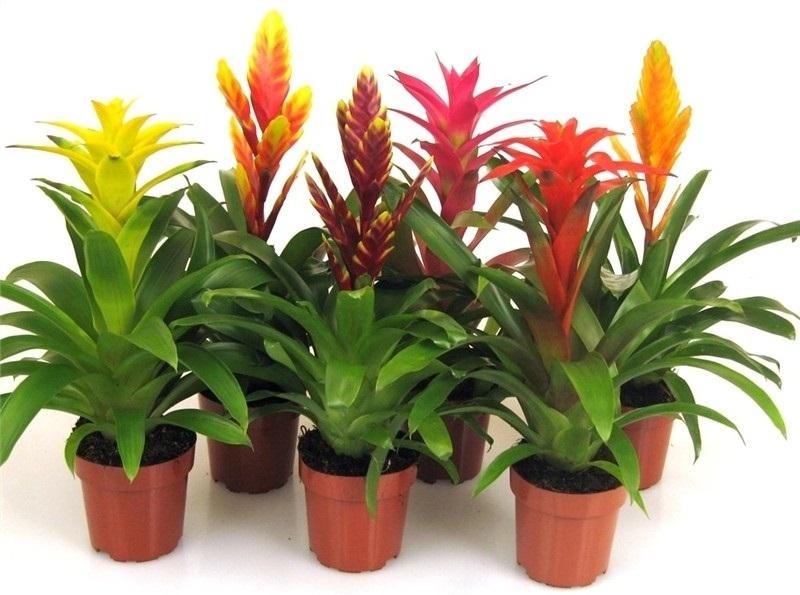 Planta del mes de mayo todas la bromelias con un 25 de for Plantas bonitas de interior