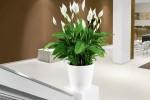 Spathiphyllum 3