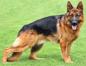 raza-de-perro-pastor-aleman