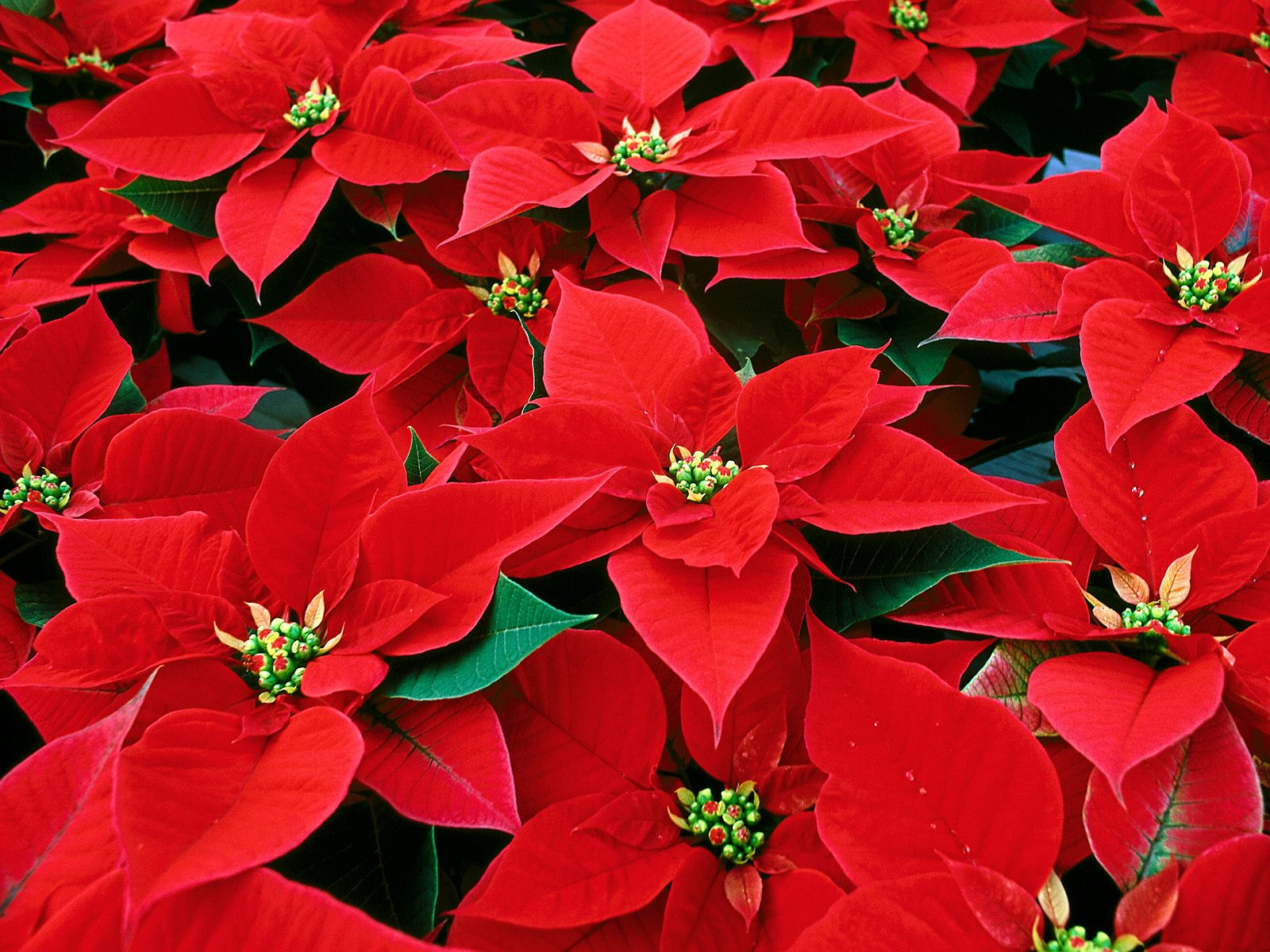 La Poinsettia: la planta de la Navidad.