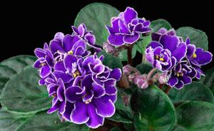 violetafricana