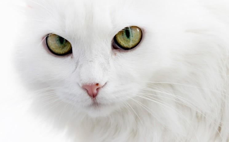 Razas de Gatos: Angora Turco.