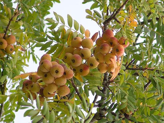 El serbal rbol frutal muy r stico garden catalunya - Como se podan los arboles frutales ...
