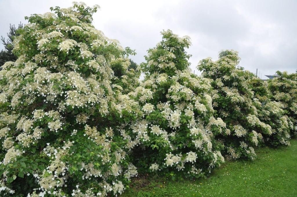 Hydrangea petiolaris - porte planta