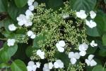 hydrangea petiolaris - detalle flor