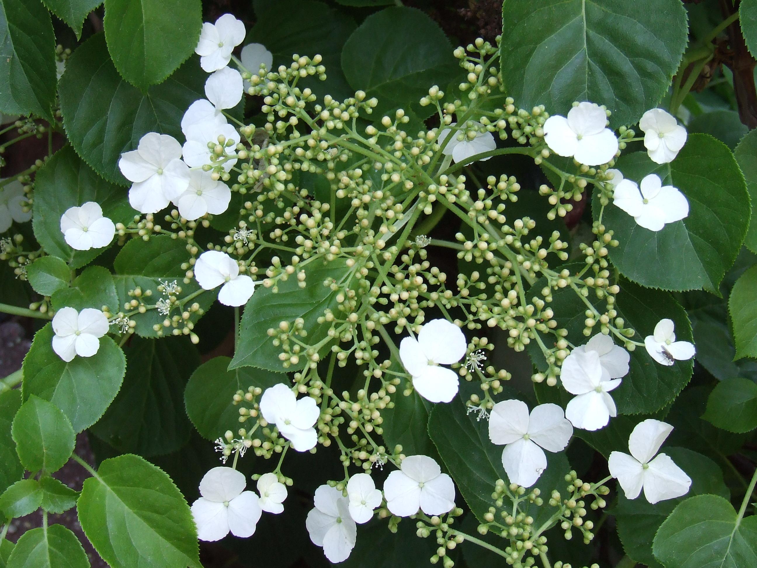 Hydrangea petiolaris – La Hortensia trepadora.