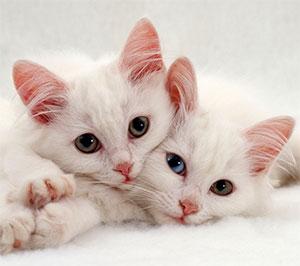crias-gato-persa