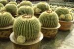 echinocactus-en-maceta