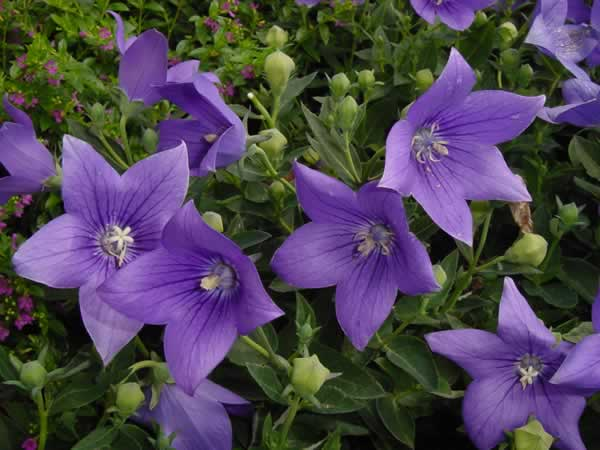 Platycodon – Planta de flores azules para este verano.