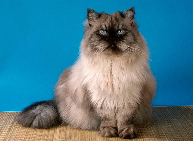 raza-gato-persa