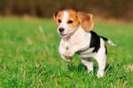 beagle-raza-de-perro