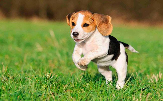 Razas de perros: Beagle.