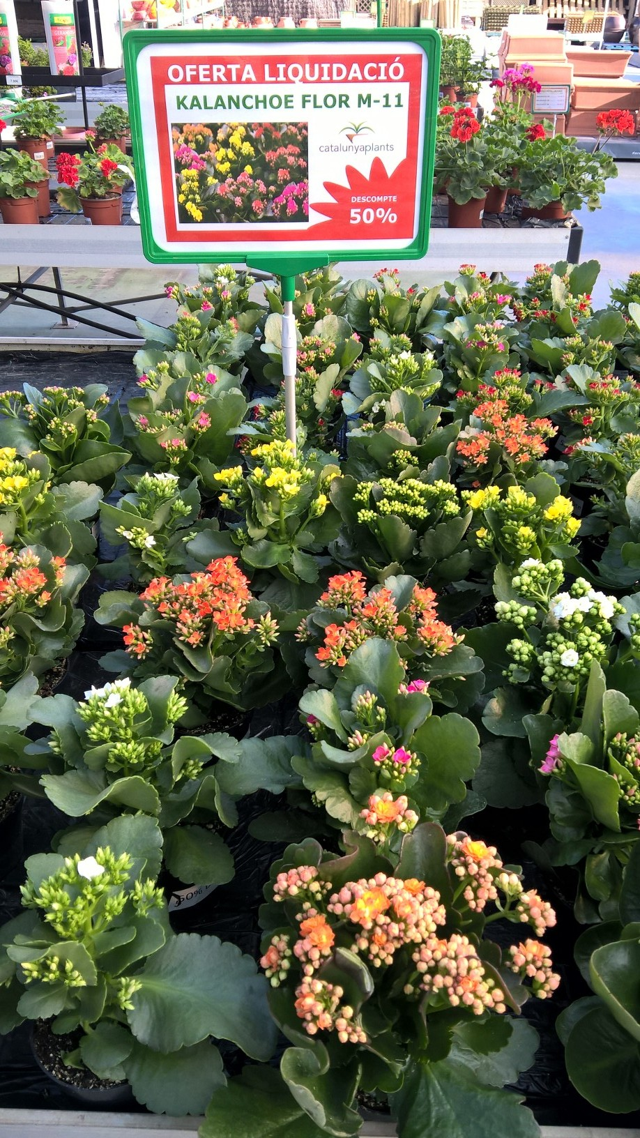 oferta especial kalanchoe en flor con un 50 de descuento