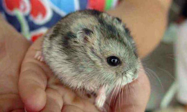El Hamster: características y cuidados