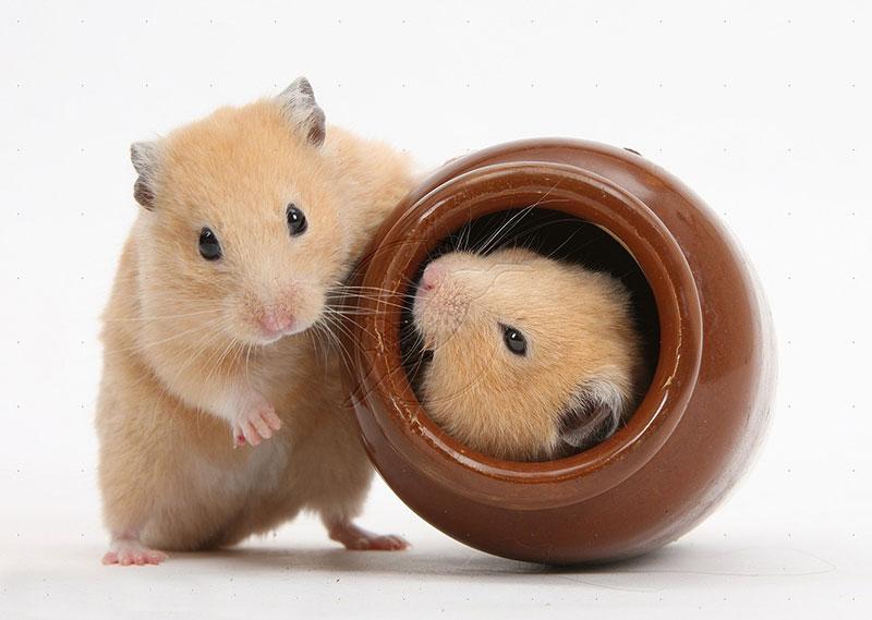El Hamster: el roedor más común en los hogares.