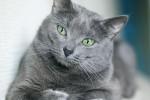raza-de-gato-azul-ruso
