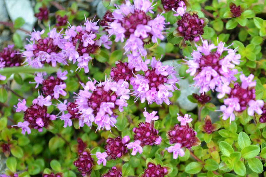 El Serpol (Thymus serpyllum): El otro Tomillo.