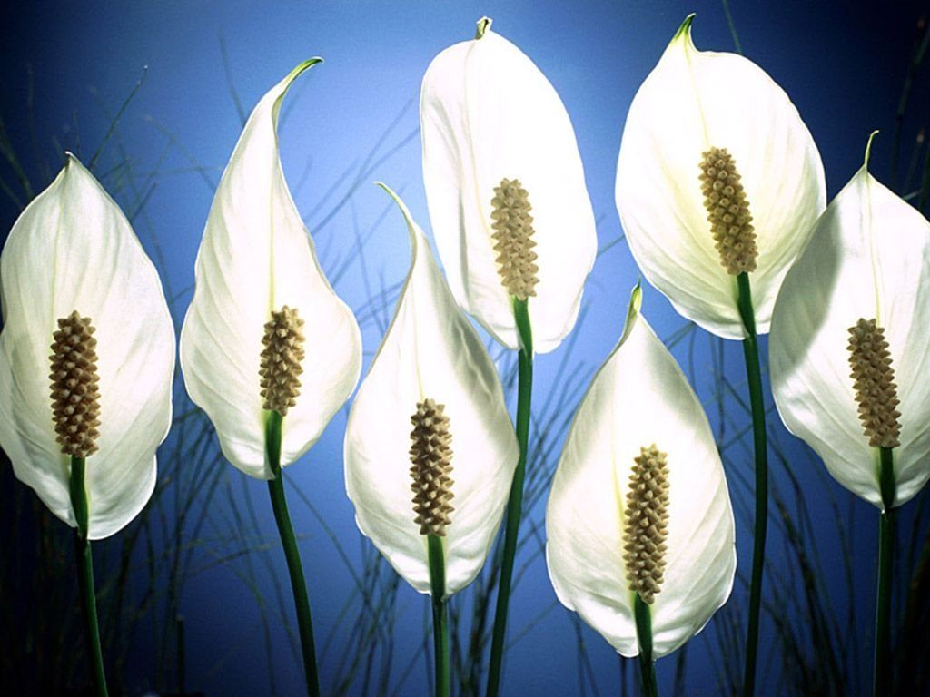 Planta del mes de Febrero: Spathiphyllum con un 25% de descuento.