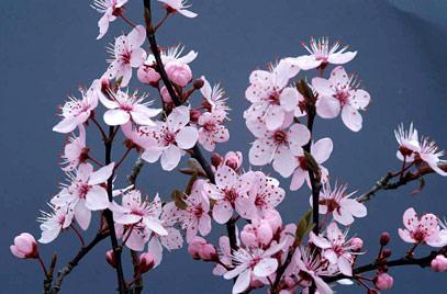Oferta: Prunus pisardii arbustivos de 2.5 metros a 120 euros.